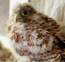 Kestrel Chicks Conservation